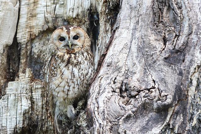 sova na stromě